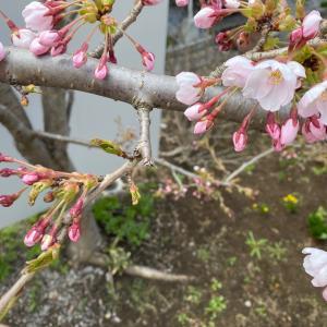いつもと同じく春がくる