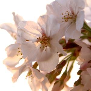 桜2020 夕焼けバージョン