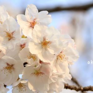 桜2020 夕焼けじゃないバージョン