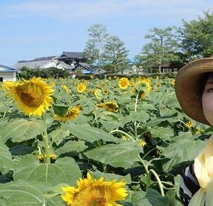 愛媛県伊予郡松前町ひょこたん池公園のヒマワリ畑