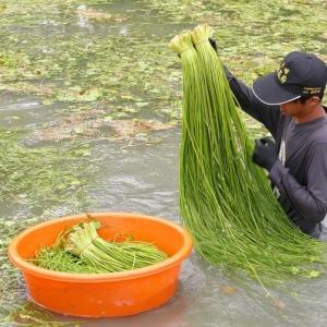 ダイバースーツで収穫する、台湾育ちの【水蓮菜】