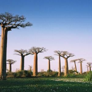 【衝撃】アフリカの樹齢の古い『バオバブの木』が次々と大量枯死