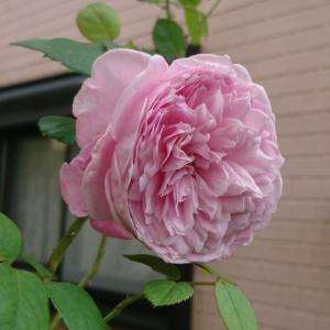 自宅のバラ