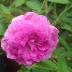 台風前に咲いたバラ1