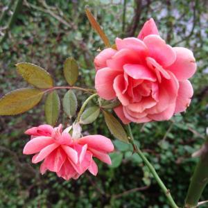 庭の片付けと生き残りのバラ達