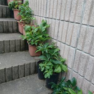 クリスマスローズ階段を作りました