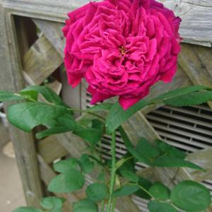 健気に咲いたバラ達