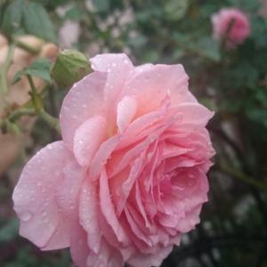 雨の中で咲くバラ