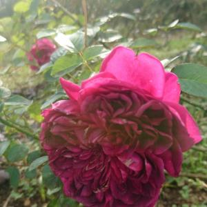 ガーデンの今バラ~2