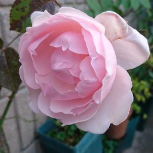 我が家のバラは。。。