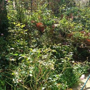 久しぶり庭いじり&バラの追い上げ