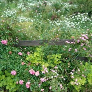ガーデンのバラ~早咲き編1