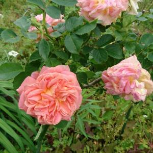 ガーデンのバラ~早咲き編2