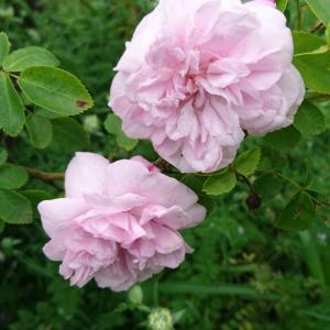 ガーデンのバラ~早咲き編3