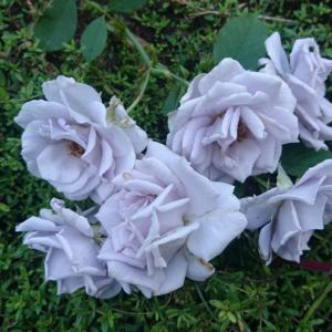 たくさん咲いたバラの2番花