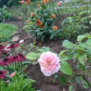 セカンドガーデン~バラが咲いています