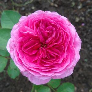 セカンドガーデンのバラ