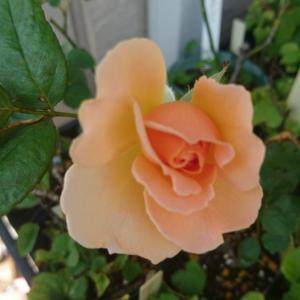 今日のバラ達