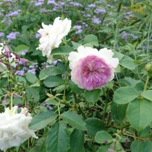 久しぶりに咲いたブルームーンストーン