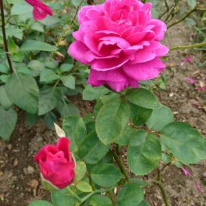 夏の終わりのバラ