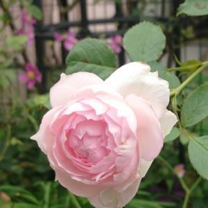今庭~咲き始めたバラ達