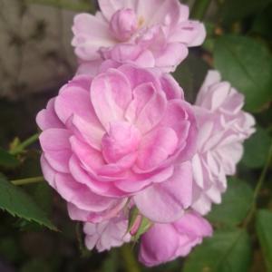 咲いてきたバラ~2