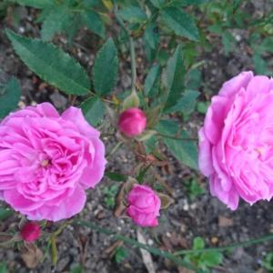セカンドガーデンの秋バラ