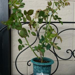 新苗の一本枝を増やすには。。。