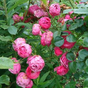 ガーデンのバラ達は今