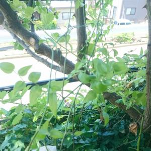 自宅庭の整理~西側花壇②球根ゴロゴロ