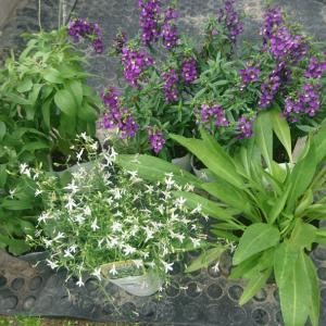 買った苗の植え付けと白絹病の薬