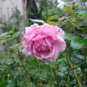寒ぅ~我が家の庭の強健バラ