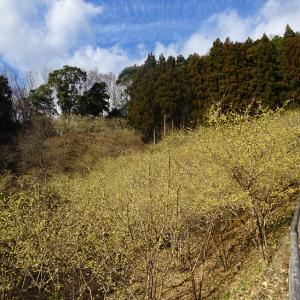 今年も松田町寄(やどろき)の蠟梅(ロウバイ)を見に行きました