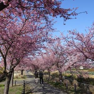 相模原市南区新磯の河津桜を見に行きました
