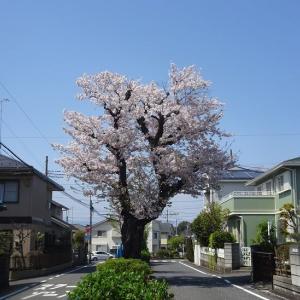桜が満開ですが、外出自粛で人が少ないです