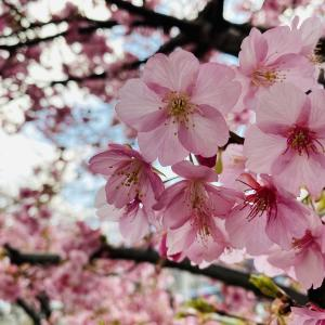 せせらぎ遊歩道の河津桜が咲いたよ!2020
