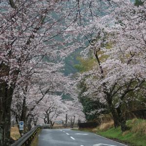 雨の桜、桜の雨
