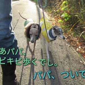 CCボーイズ、パパを散歩に連れて行く。