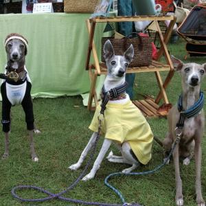CCボーイズの、Italian Greyhound Festival -ダイジェスト-