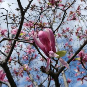 京都洛中の桜 5