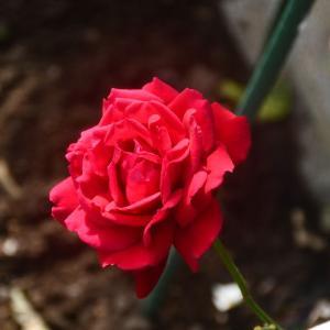 「小さな薔薇園」最後の赤薔薇(イングリットバーグマン)となすび❤