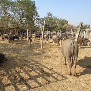 チェンマイの『サンパトーン郡の水牛市場』