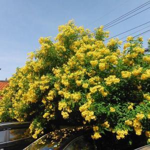 続・チェンマイは『華麗な花の競演』