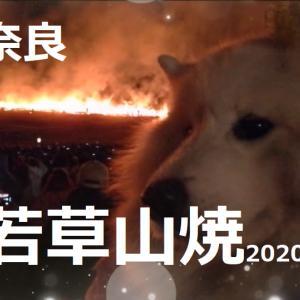 サモエド さくら奈良 若草山焼き2020.1.25