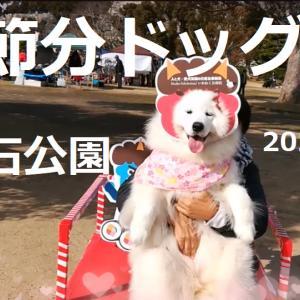 サモエド さくら節分ドッグ2020.2.1兵庫県立明石公園