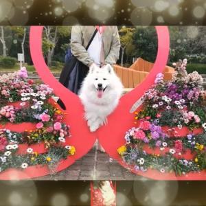 サモエド さくらKOBE総合運動公園5万本の菜の花