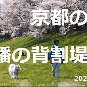 サモエド さくら京都の八幡の背割堤