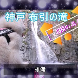サモエド さくらKOBE布引の滝 日本三大神滝
