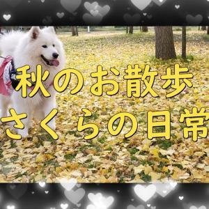 サモエド さくら秋のお散歩 美しい花嫁さんをみたよ(^^)/2020.11