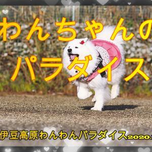サモエド さくらわんちゃんのパラダイス 伊豆高原